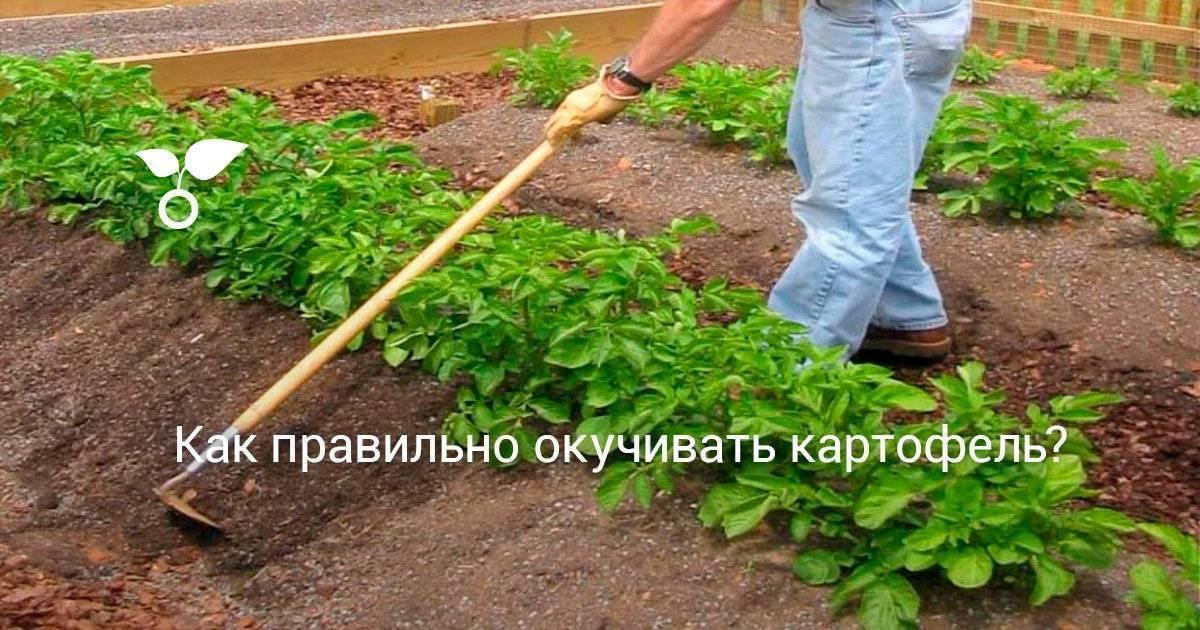 Окучивание картофеля: когда, как правильно и чем окучивать