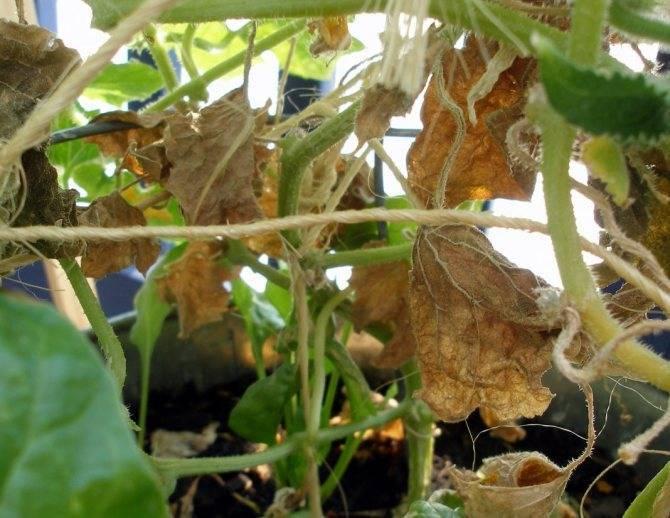 Увядание огурцов в теплице и открытом грунте: чем обрабатывать и как лечить