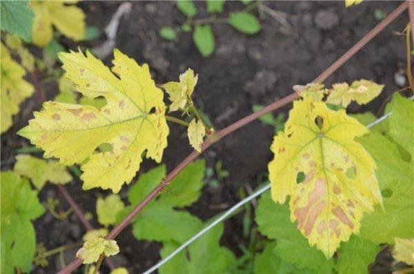 Желтеют листья винограда: что делать и как с этим бороться, чем обработать