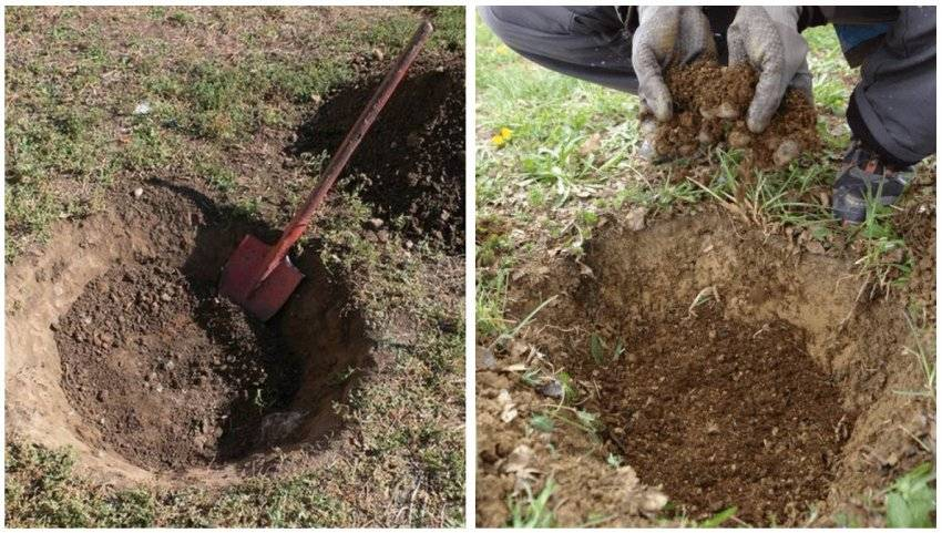 Посадка, выращивание и правила ухода за грушей