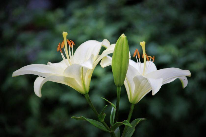 Когда пересаживать лилии: пересадка весной, осенью и летом, уход за пересаженной культурой