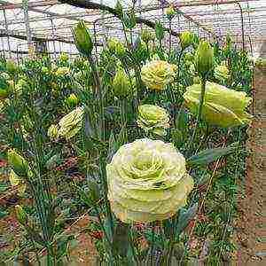 Выращивание эустомы из семян (33 фото): как сажать цветы на рассаду? хитрости посева. как вырастить эустому? как собрать семена?