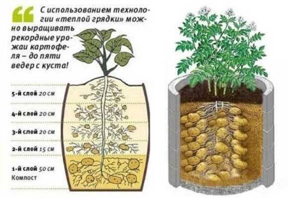 Выращивание картофеля в домашних условиях: традиционные и новые способы, плюсы и минусы