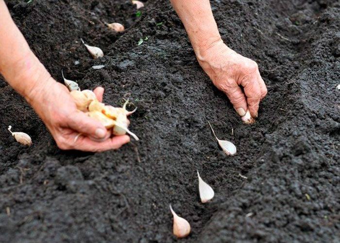 Чеснок: посадка и уход в открытом грунте, выращивание из семян