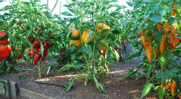Выращивание болгарского перца в сибири и на урале: особенности климатических условий