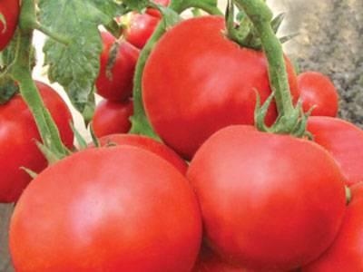 Выращиваем сорт томата взрыв. - мое село