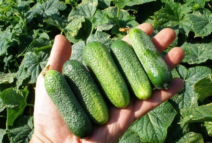 Огурцы луховицкие: обзор сорта, отзывы дачников со стажем, фото полученных плодов, секреты агротехники для повышения урожайности