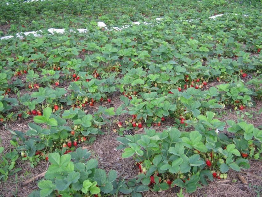 Всё о садовой землянике чёрный принц - описание сорта, посадка, уход и другие аспекты + фото