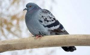 Содержание голубей - как правильно это делать