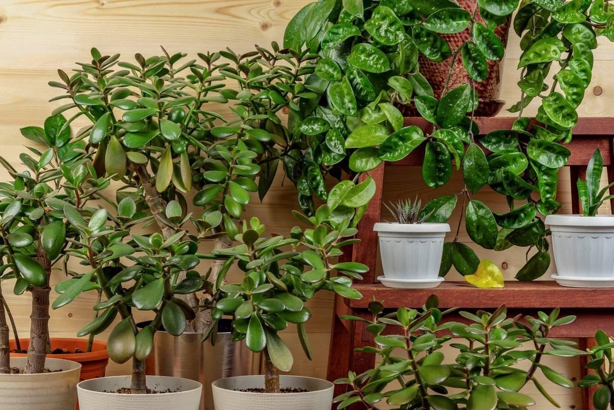 У денежного дерева мягкие листья — что делать и причины, почему у толстянкаи вялые ветки и ствол и как спасти если увядает