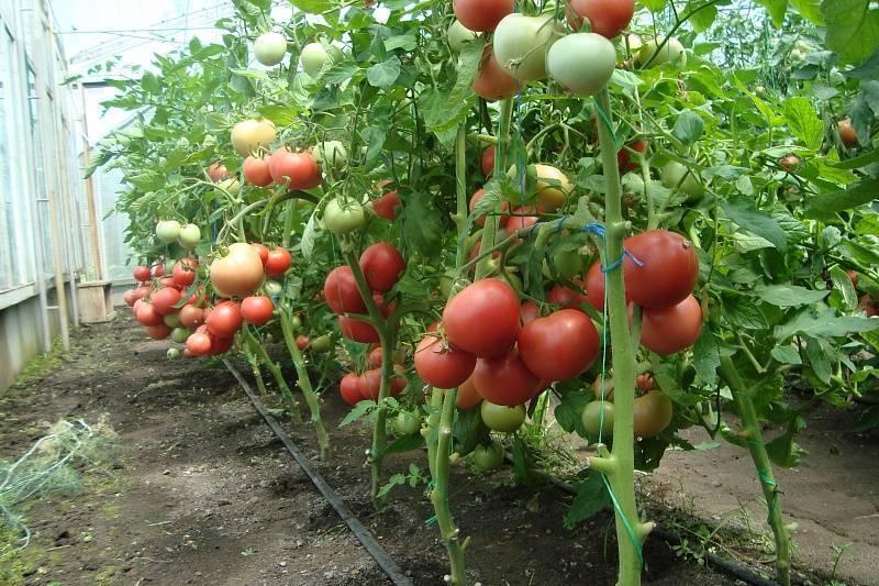 Томат розовый гигант (малиновый гигант): описание сорта и характеристика помидор, выращивание