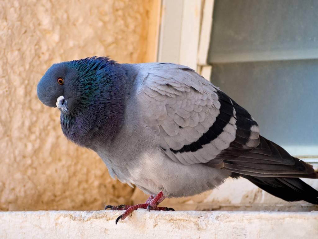 Птичий помет как удобрение [как применять, подготавливать и вносить]