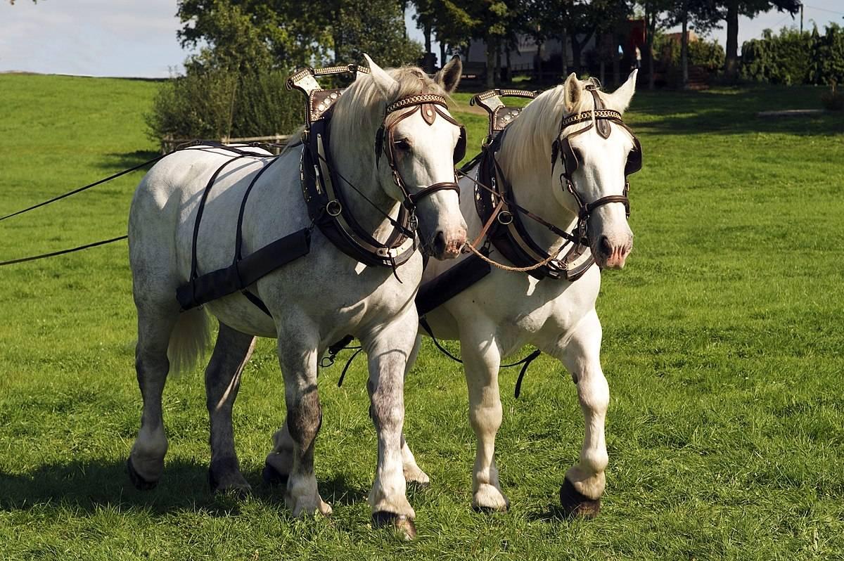 Першероны: самые высокие кони в мире