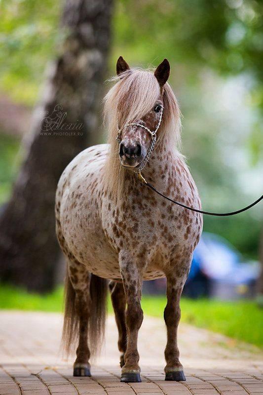 Мини-лошадь: фото и описание, породы, содержание и уход
