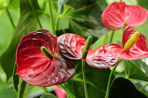 Антуриум: уход в домашних условиях, особенности выращивания цветка - sadovnikam.ru