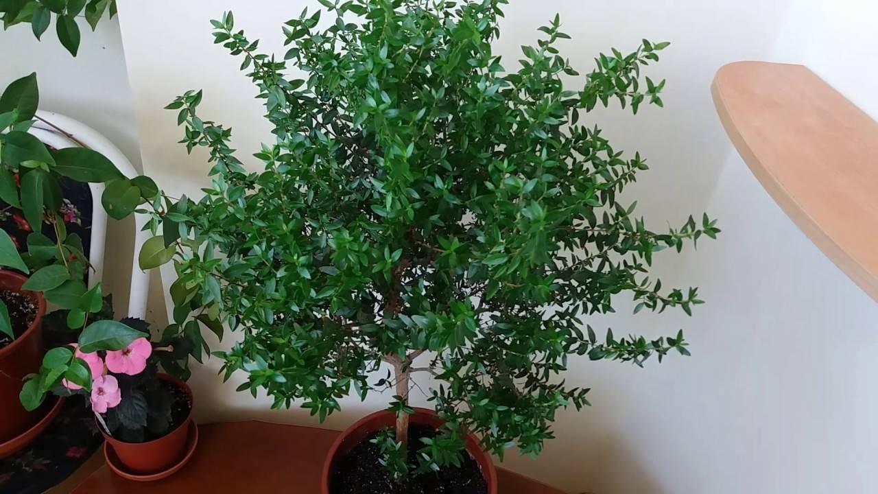Мирт: уход в домашних условиях, пересадка и обрезка мирта, размножение растения в домашних условиях