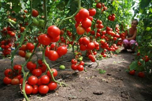 Выращивание томатов в теплице от посадки до урожая