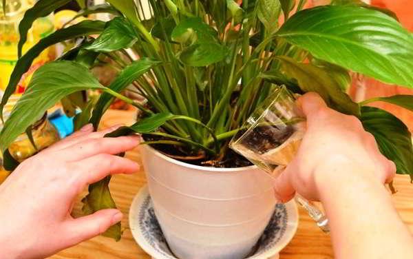 Как ухаживать в домашних условиях за цветком спатифиллум