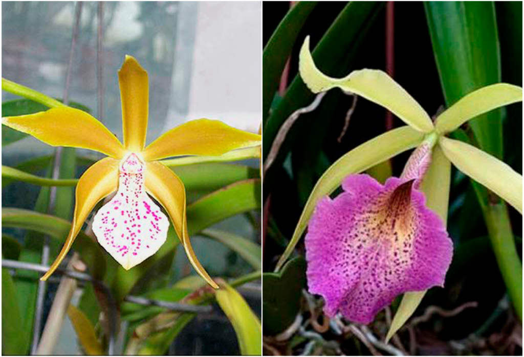 Брассавола уход за орхидеей в домашних условиях, размножение