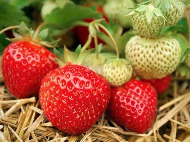 Клубника полка - 130 фото и видео советы как вырастить урожайный сорт клубники