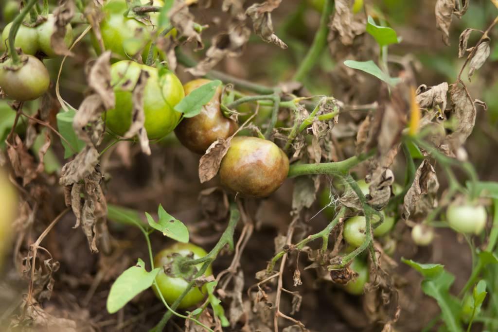 Фитофтора на помидорах: как бороться народными средствами фитофтора на помидорах: как бороться народными средствами