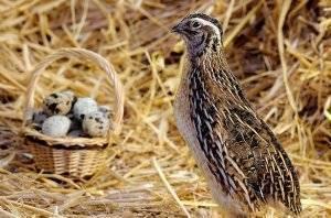Как и когда начинают нестись перепела: в каком возрасте перепелки несут яйца