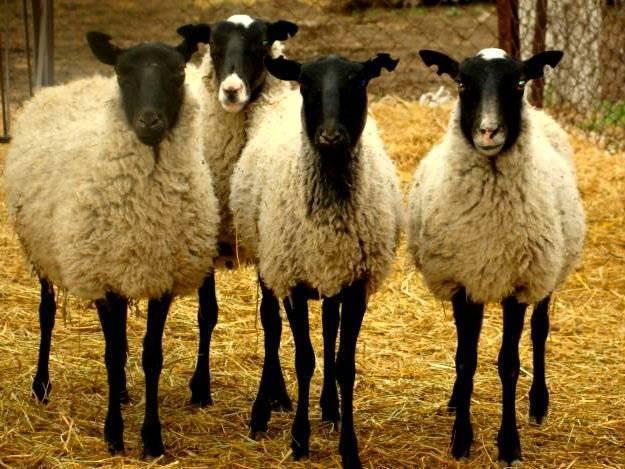 Содержание овец в личном подсобном хозяйстве - технология ухода 2021