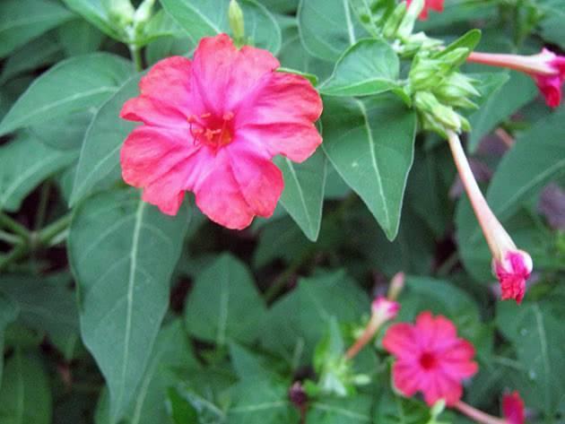 Мирабилис посадка и уход в открытом грунте, роль сорта в ландшафтном дизайне, выращивание и размножение