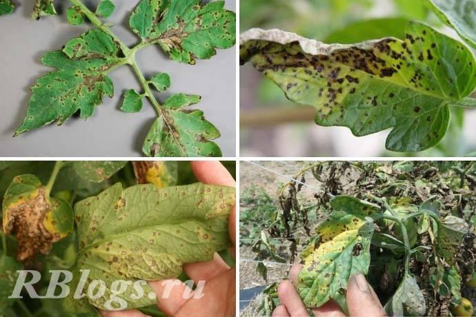 Болезни рассады, листьев, стеблей, плодов томатов – описание с фото