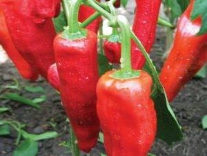 Сладкий перец богатырь: характеристик и описание сорта, отзывы, фото, урожайность