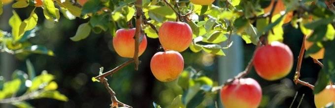 Сколько лет живет яблоня? как можно продлить период ее жизни?