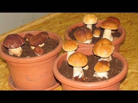 Выращивание белых грибов в домашних условиях: технология разведения