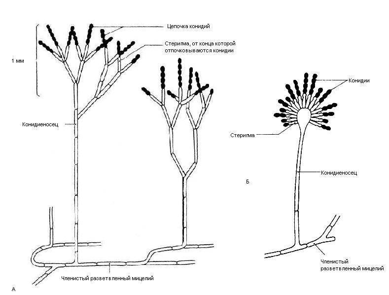 Несовершенные грибы (deuteromycetes)