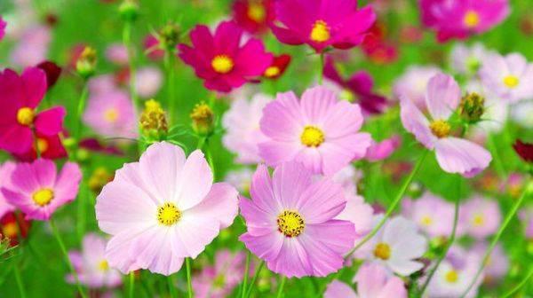 Космея: выращивание из семян, посадка и уход в открытом грунте, виды и сорта