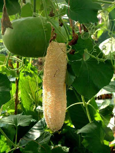 Как вырастить крепкую рассаду люффы и получить крупные плоды