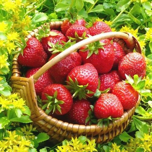 Клубника зефир: описание сорта с характеристикой и отзывами, особенности посадки и выращивания и ухода, фото