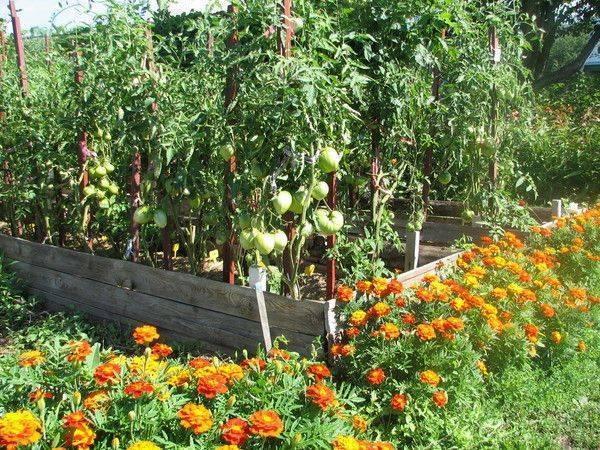 Применение сидератов для томатов