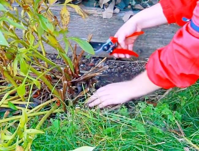Обрезка пионов: осенью, на зиму, после цветения