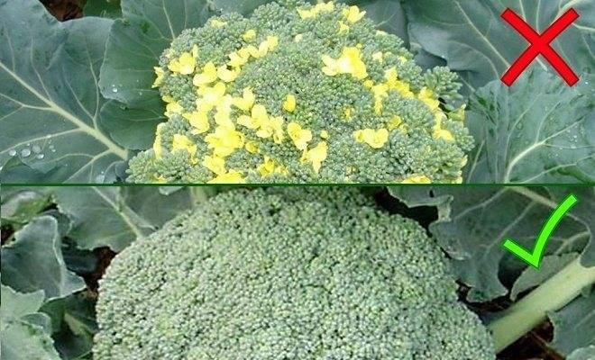 Топ-8 лучших сортов крупной капусты брокколи