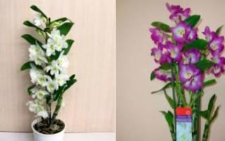 Полив орхидеи дендробиум нобиле