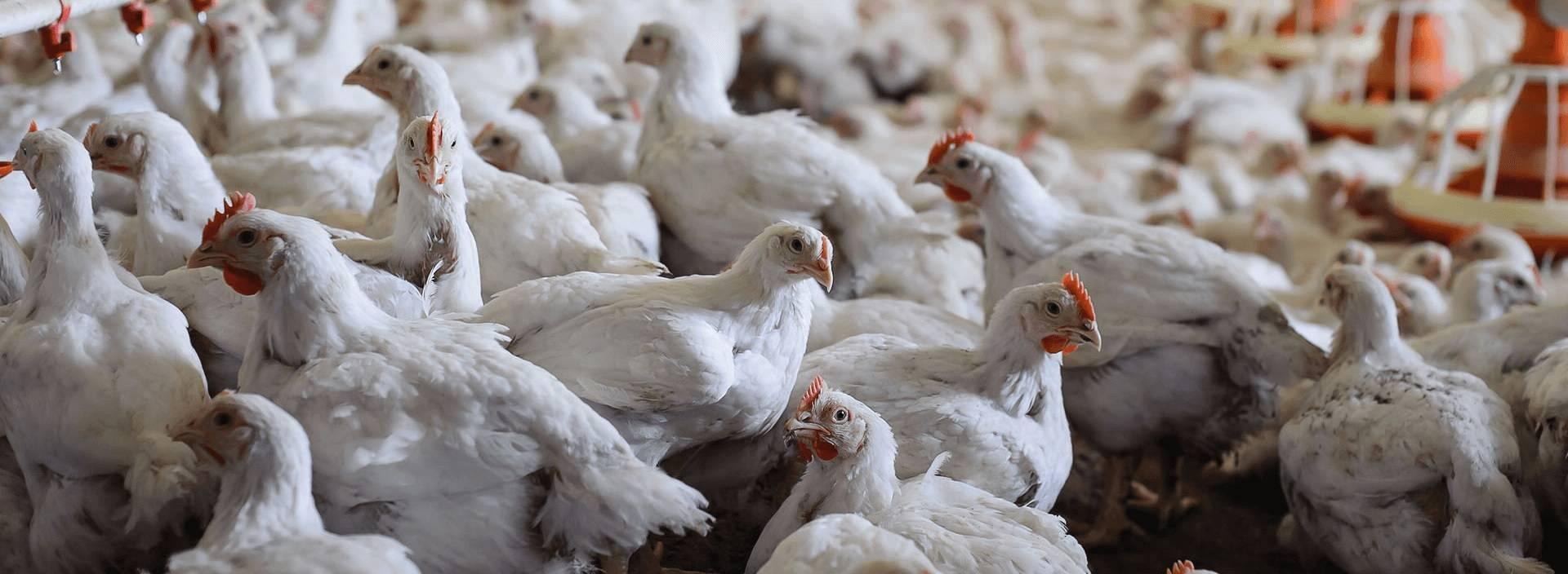Суточные цыплята: уход, кормление, содержание после вылупления из инкубатора с первых дней жизни (суточные несушки и до 3 недели) в домашних условиях selo.guru — интернет портал о сельском хозяйстве