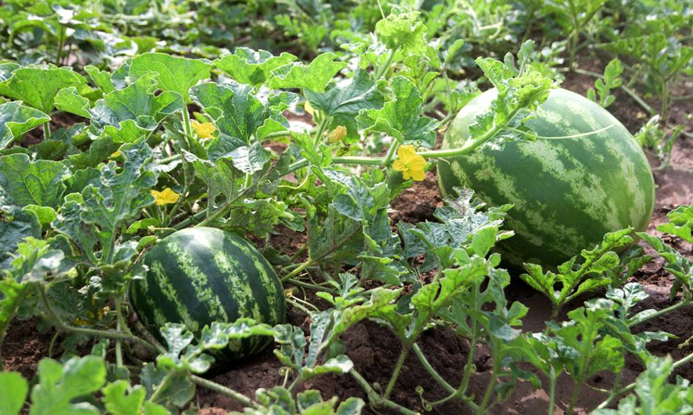 Как сажать арбузы в открытый грунт рассадой, в том числе с открытой корневой системой