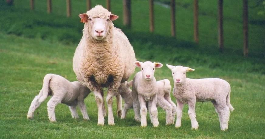 Как выкормить ягненка без овцы?