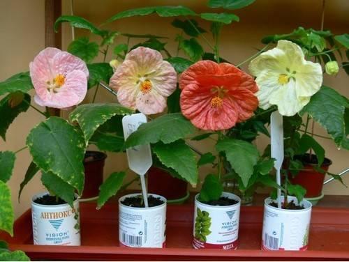 Выращивание абутилона в домашних условиях: виды, уход, фото комнатного цветка
