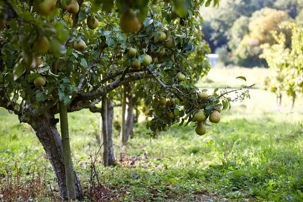 Груша ириста: описание сорта, фото, отзывы садоводов