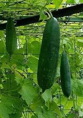 ᐉ растение люффа: уход в домашних условиях, фото, выращивание из семян - roza-zanoza.ru
