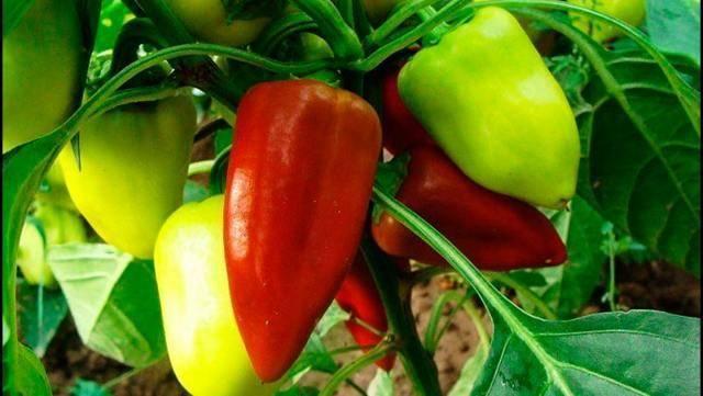 Лучшие сорта болгарского перца: отзывы