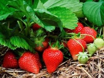 Удобрения для подкормки клубники после плодоношения