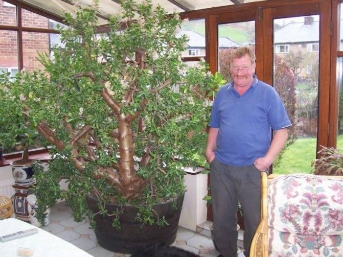 Уход за денежным деревом (толстянкой) в домашних условиях: гид, фото и пошаговые инструкции