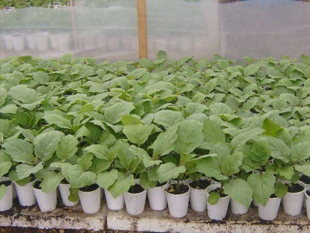 Баклажаны температура выращивания | вырасти сад!